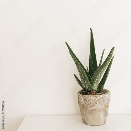 Home plant aloe vera in flowerpot on white table Fototapet