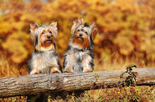 Two Yorkshire Terriers At The ...