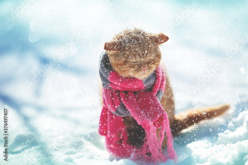 Portrait of a ginger kitten wearing a knitted scarf. Kitten sitting in snowy winter at blizzard