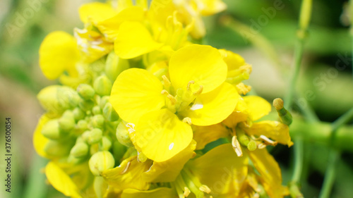 Common Buttercup yellow flowers on green grass background Wallpaper Mural