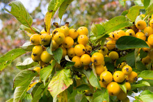 Crabapples Growing On A Tree - Variety Is Golden Hornet