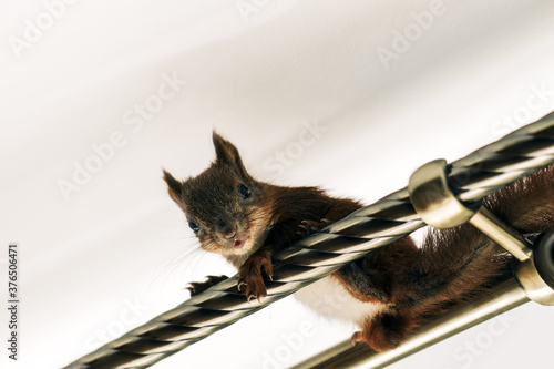 Photo Brown squirrel sitting on a crossbar in the house. Pet