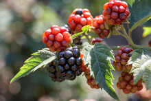 Closeup Of A Bramble Bush Growing Delicious Wild Blackberries