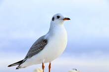 A Close-up View Of A Seagull A...