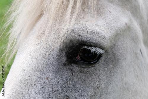 Fényképezés Oeil de cheval blanc en gros plan