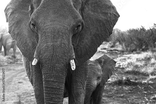 Cuadros en Lienzo Mother Elephant tends to her young Calf in the Madikwe Game Reserve of South Afr