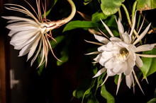 Night Blooming Cereus Against ...