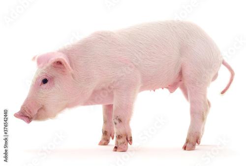Fototapeta Dirty pig on white.