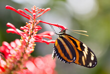 A Tiger Longwing Or Heliconius Ismenius Butterfly Feeding On A Flower