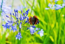 Admiral Falter Schmetterling Auf Einer Schmucklilie Blüte
