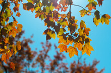 Backlit Colorful Maple Tree Le...