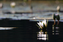 White Star Lotus Waterlily On Dark Water (Nymphaea Nouchali), Groot Marico, South Africa