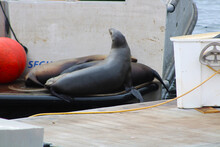 A Group Of Seals Sleep On The Back Of A Boat