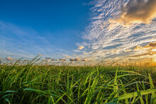 Field Of Cane And Sunset