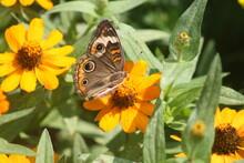 Common Buckeye Butterfly 2020 ...
