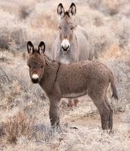 Wild Donkey In A Field Baby B...