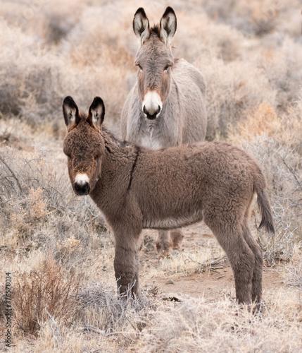 Canvas Print wild donkey in a field baby burro