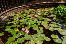 A Cluster Of Lilies In A Pond