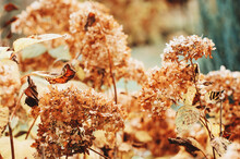 Hydrangea Dried Flowers In Late Autumn Garden Close Up. Seasonal Changes In Nature.