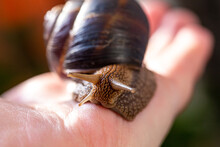 A Large Snail On A Human Hand....