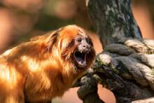 Goldenes Löwenäffchen
