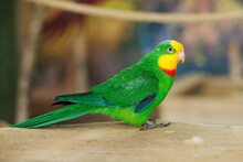 Green Superb Parrot. Bird Portrait Isolated.
