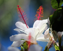 Dainty Decorative Blooms Of Wilder's White Single Hibiscus Arnottianus With Prominent Pink Stamens Adds A Touch Of Exotic Tropical Splendor To The Garden Landscape From Spring To Late Autumn.
