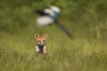 Red Fox Sitting In A Meadow Watching A Magpie In Flight.