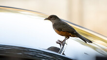 Rufous-bellied Thrush Of The S...
