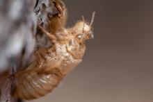 Cicadas Shells On Tree. Cicada...
