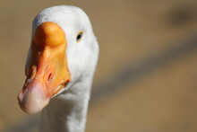 The Head Of A Live White Goose...