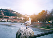 Portrait Of A White Seagull On...