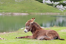 Wild Young Donkey In Mountain Meadows