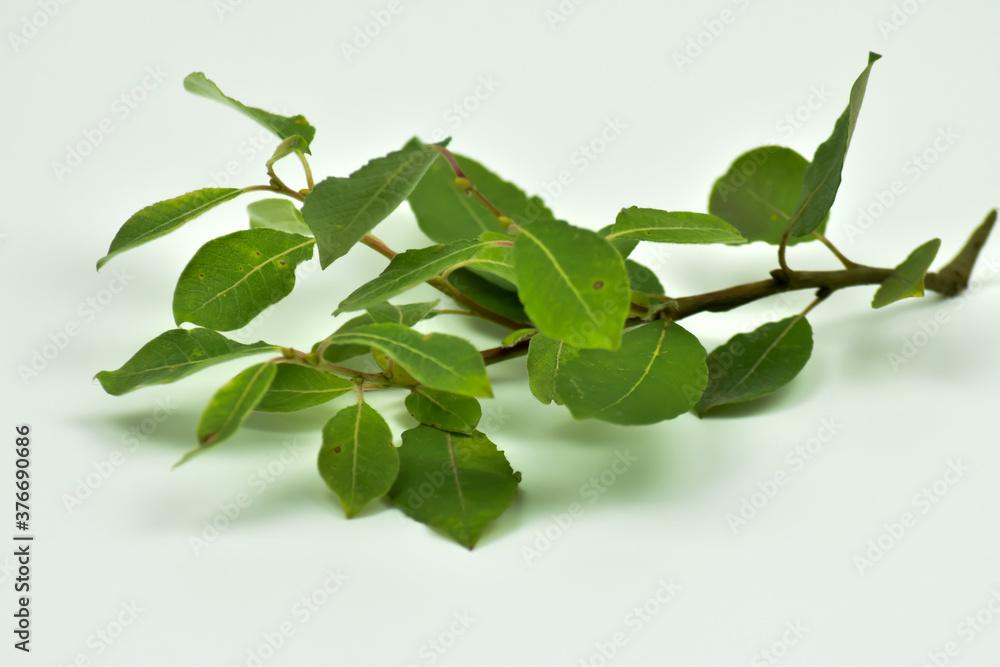 Zielona liście na gałęzi na białym tle.