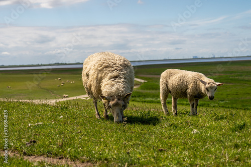 Leinwand Poster sheep resting and grazing grass on the dike at the north sea in germany