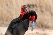 Bucorve Du Sud, Grand Calao Terrestre, Bucorvus Leadbeateri, Southern Ground Hornbill