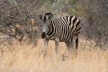 Zèbre De Burchell, Equus Quagga Burchelli, Parc National Kruger, Afrique Du Sud