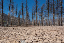 Dry Trees In The Middle Of Drought.