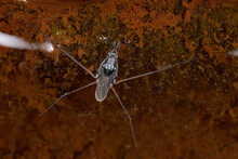 Water Strider Of The Family Ge...