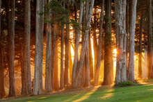Dramatic Sunset Of Monterey Cypress Trees Over The Presidio In San Francisco, California.