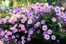 Growing Beautiful Aster Alpinus, Dwarf Pink Alpine Aster Flowers Richly Blooming In The Flowerbed In Autumn.