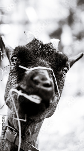 Photo La cabra feliz
