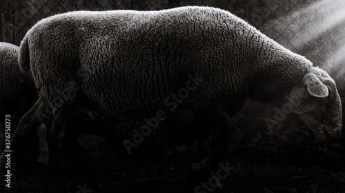 Photo La oveja sagrada