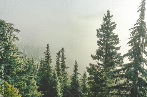 Fotografía Fog surrounding trees on mountainside