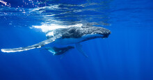 Humpback Whale Swimming Underw...
