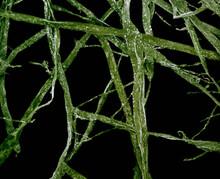 Microscopic View Of Green Algae
