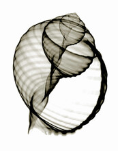 X-ray Image Of Banded Tun Seashell