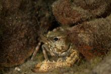 Close Up Of Freshwater Crayfish