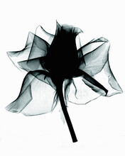 X-ray Image Of Rose