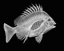 Inverted Image Of Sheepshead Fish